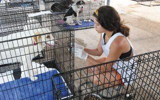 Σκύλοι που χάθηκαν κατά τη διάρκεια των δασικών πυρκαγιών της Βαρυμπόμπης δέχονται τις φροντίδες εθελοντών στο καταφύγιο πυρόπληκτων ζώων που έχουν στήσει στο Γαλάτσι. (Φωτ. ΑΠΕ-ΜΠΕ/ΟΡΕΣΤΗΣ ΠΑΝΑΓΙΩΤΟΥ)
