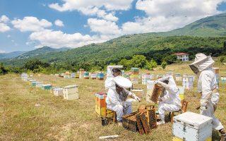 Ρυθμίζουν τον σφυγμό της χλωρίδας, οξυγονώνοντας τον πλανήτη οι μελιτοφόρες, από τις πιο θαυμαστές παρουσίες της επί γης Δημιουργίας. Στην κοινωνία των μελισσών, με αυστηρή, ανελαστική ιεραρχία, δεσπόζει η βασίλισσα κάθε οικογένειας, με χιλιάδες μέλη, και προορισμό τον αχόρταγο πολλαπλασιασμό του είδους, ενώ οι εργάτριες, που αποτελούν τη συντριπτική πλειονότητα, ιδρώνουν καθημερινά για να φέρουν εις πέρας τα διακονήματά τους: συλλέγουν τροφή, φέρνουν νερό, καθαρίζουν, κτίζουν κελιά, περιποιούνται την άνασσα, φροντίζουν τις προνύμφες, φρουρούν την κυψέλη, δίνοντας όταν χρειαστεί μάχες μέχρις εσχάτων απέναντι σε επίβουλες σφήκες. Ελεύθερος χρόνος μηδέν, επτά ημέρες την εβδομάδα. Ισχνή μειονότητα ο ανδρικός πληθυσμός. Οι κηφήνες έρχονται στη ζωή ευάλωτοι, δίχως κεντρί, και μόλις ολοκληρώσουν το μόνον της ζωής τους καθήκον, το ζευγάρωμα με τη βασίλισσα, τους περιμένει ανατριχιαστικό, σε πιάνει σύγκρυο και που το σκέφτεσαι, τέλος: εκρήγνυνται τα αναπαραγωγικά τους όργανα. Κάθε φορά λοιπόν που αλείφουμε μια φέτα ψωμιού ή γευόμαστε μια κουταλιά από τον γλυκό κόπο, να σκεφτόμαστε με ευγνωμοσύνη ότι η ακάματη εργάτρια παράγει ώς τα βαθιά γεράματα (δύο έως έξι μήνες το προσδόκιμο) το πολύ ένα γραμμάριο μέλι. Στη φωτογραφία επαγγελματίες, με τα ρούχα της δουλειάς και τις κυψέλες τους σε περιοχή της Φλώρινας· με την ευκαιρία ας μνημονεύσουμε τον Μαρτσέλο Μαστρογιάνι, κορυφαίο κινηματογραφικό «Μελισσοκόμο» υπό την καθοδήγηση του αλησμόνητου Θεόδωρου Αγγελόπουλου (φωτ. Shutterstock).
