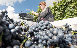 Οι αμπελώνες της κοιλάδας του Αρ είναι η μεγαλύτερη συμπαγής περιοχή παραγωγής κόκκινου κρασιού στη Γερμανία, με ειδίκευση στο Pinot Noir, όπου εκεί ονομάζεται Spaetburgunder. Κάποια από τα αμπέλια που καταστράφηκαν είχαν ηλικία δεκαετιών, ακόμη και αιώνων (φωτ. A.P. Photo/Jens Meyer).