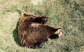 """«Η συγκεκριμένη αρκούδα ήταν ώριμη και ο θάνατός της μειώνει τις πιθανότητες αναπαραγωγικής επιτυχίας σε μια σχετικά """"κλειστή"""" περιοχή, όπου ο πληθυσμός των καφέ αρκούδων είναι περιορισμένος», λέει ο κ. Μερτζάνης (φωτ. ΒΑΣΙΛΗΣ ΠΑΠΑΔΟΠΟΥΛΟΣ / ΑΡΧΕΙΟ ΦΔΕΠαΠ)."""