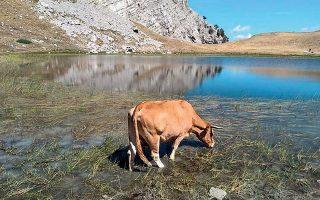 Η παρουσία των αγελάδων άλλαξε την εικόνα της περιοχής, καθώς βόσκουν τα πάντα, μπαίνουν μέσα στη λίμνη και την έχουν μετατρέψει σε βούρκο.