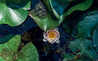 Νούφαρα σε μία από τις πέντε λίμνες που υπάρχουν στους κήπους του Μουσείου Βορρέ. (Φωτογραφίες: ΜΑΡΙΚΑ ΤΣΟΥΔΕΡΟΥ)
