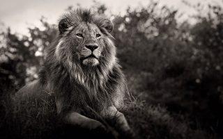 Σύμβολο θάρρους, δύναμης και κουράγιου, ο «βασιλιάς των ζώων» αντιμετωπίζεται δυστυχώς ως τρόπαιο για πολλούς λαθροκυνηγούς.(Φωτογραφίες: JOACHIM SCHMEISSER)