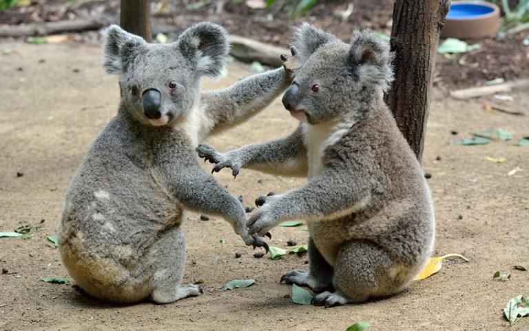 aystralia-tin-teleytaia-trietia-chathike-to-ena-trito-apo-ton-plithysmo-ton-koala-561506665