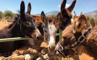 Ο Παναγιώτης (δεξιά), νεο-φερμένος στη Γαϊδουροχώρα, γνωρίζεται με τα υπόλοιπα ζώα.