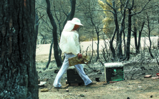 Ο ΕΛΓΑ υπολογίζει ότι 10.000-15.000 μελίσσια έχουν καταστραφεί, αλλά πολλοί από τους μελισσοκόμους θα δυσκολευθούν να ζητήσουν αποζημίωση για αυτά καθώς έχουν βγει «εκτός ραντάρ και σε ό,τι αφορά ρυθμίσεις της Ε.Ε.». Φωτ. ΙΝΤΙΜΕ